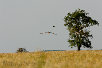 Grote trap, Great Bustard, Otis tarda