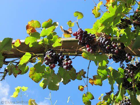 druiven aan pergola
