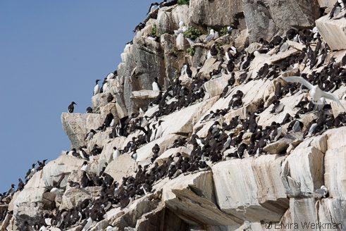 broedende zeevogels op Hornoya
